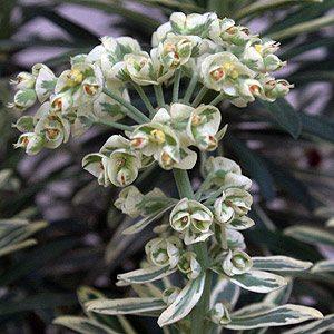 Euphorbia Plant in Flower