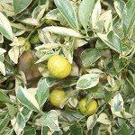 Cumquat Trees