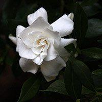 Gardenia Radicans
