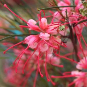 Grevillea Plant in flower