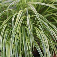 Japanese Forest Grass or Japanese Temple Grass (Hakonechloa macra)