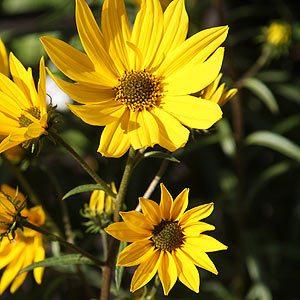 Helianthus angustifolius - Perennial Sunflower