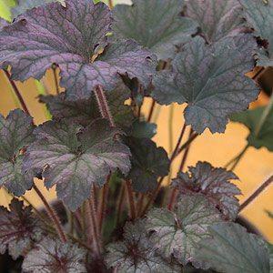 Heuchera Frosted Violet