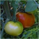 Tomatoes – Grow your own tomatoes