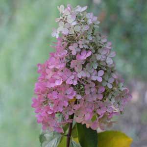 "H. paniculata grandiflora or ""Pee Gee Hydrangea"