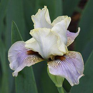 Iris Lilac and White