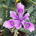 Species Iris