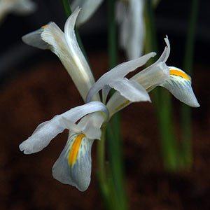 iris reticulata nurseries online. Black Bedroom Furniture Sets. Home Design Ideas