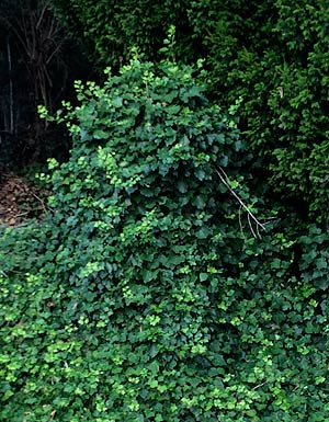 Ivy needs to be controlled in gardens