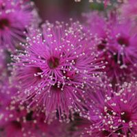 The pretty pink flowering 'Kunzea pauciflora'