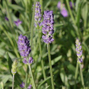 Lavandula angustifolia - The English Lavender