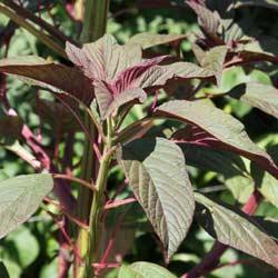 Leaf Amaranth
