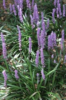 Lirope muscari can be mass planted and will flower well though spring and summer.