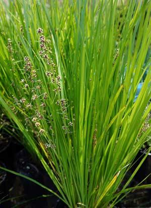 Lomandra Plants And Species For Sale Nurseries Online