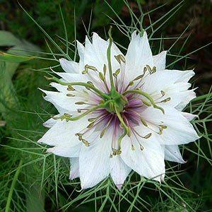 Love in a mist (White Nigella Flower)