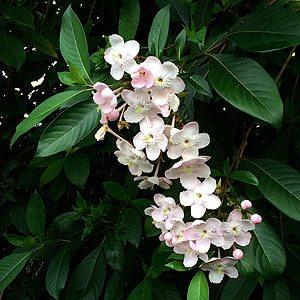 Luculia pinceana Pink Spice