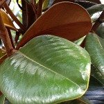 Magnolia grandiflora Teddy Bear
