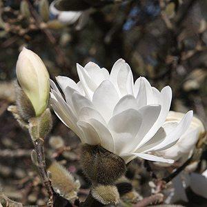 Magnolia stellata waterlily