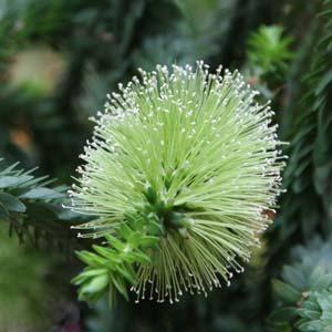 Melaleuca diosmifolia - The Green Honey Myrtle