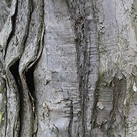 Melaleuca styphelioides Prickly Paperbark