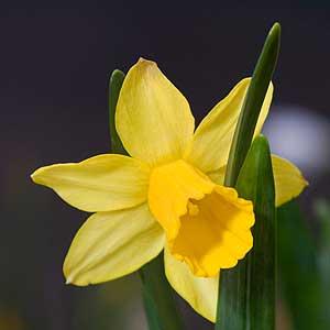 The Miniature Daffodil Narcissus 'Tete a Tete'