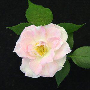Miniature Rose Bernadella's Pearl