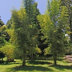 Monastery Bamboo