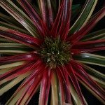 Bromeliads Neophytum Galactic Warrior