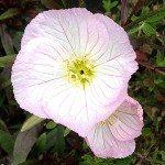 Oenothera – The Evening primrose