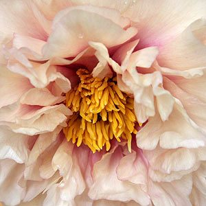 Peonies in Flower