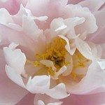 Chinese Peony Rose Care