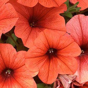 Petunia-Orange
