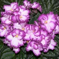 Bicolor African Violet