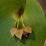 Pleurothallis Orchids