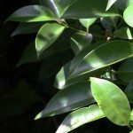 How to Control Privet
