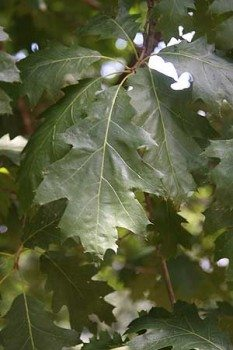 Quercus rubra 'Red Oak' Foliage