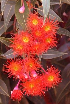 Red-Flowering-Gum