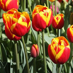 Red-and-Yellow-Tulips