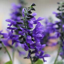 Salvia Omaha Gold