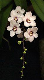 Sarcochilus Orchid