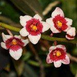 Sarcochilus Orchids