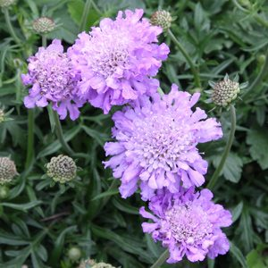 Scabiosa columbaria Pincushion Flower