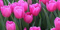 Spring Bulb List