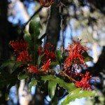 Stenocarpus sinuatus – the Firewheel Tree