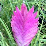 Tillandsia cyanea – Bromeliads