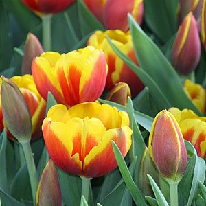 Triumph Tulip 'Strong Gold'