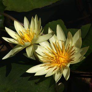 Yellow Flowering Waterlily