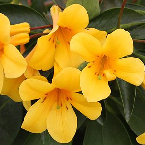 Vireya Rhododendron Yellow Hybrid