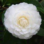 White Flowering Camellias