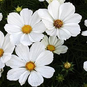 White-Cosmos